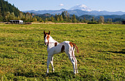 Paint Horse Posters - Paint Colt and Mount Rainier Poster by Stacey Lynn Payne