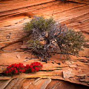 Ledge Photos - Paintbrush and Juniper by Inge Johnsson