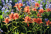 Paintbrushes Wildflowers Rainier National Park Print by Pierre Leclerc Photography