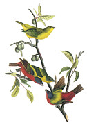 Punting Prints - Painted Bunting Print by John James Audubon