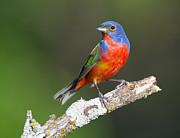 Ray Downs - Painted Bunting on Clean...