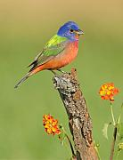 Songbird Posters - Painted Bunting Poster by Scott  Linstead
