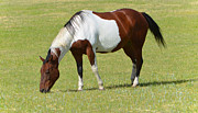 Stallion Photos - Painted Horse by Donna Van Vlack
