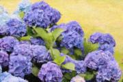 Purple Hydrangeas Framed Prints - Painted Hydrangeas Framed Print by Gina Cormier