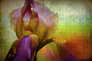Yellow Bearded Iris Framed Prints - Painted Iris Framed Print by Sari Sauls