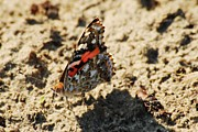 Painted Lady Butterflies Prints - Painted Lady 8591 3341 Print by Michael Peychich
