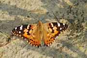 Painted Lady Butterflies Prints - Painted Lady 8617 3367 Print by Michael Peychich