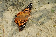 Painted Lady Butterflies Prints - Painted Lady 8620 3370 Print by Michael Peychich