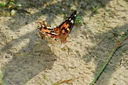 Painted Lady Butterflies Prints - Painted Lady 8622 3372 Print by Michael Peychich