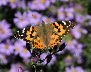 Doris Potter - Painted Lady among t...