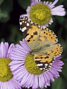 Vanessa Cardui Prints - Painted Lady Butterfly Print by Adrian Bicker