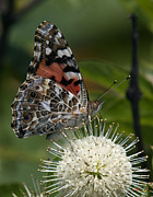 Nature Study Photo Prints - Painted Lady Butterfly DIN049 Print by Gerry Gantt