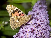 Vanessa Cardui Prints - Painted Lady Butterfly Feeding Print by Power And Syred