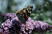 Vanessa Cardui Prints - Painted Lady Butterfly Feeding Print by Vaughan Fleming