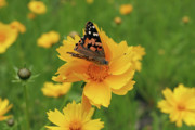 Jeannie Burleson Art - Painted Lady Butterfly by Jeannie Burleson