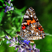 Painted Lady Posters - Painted Lady Butterfly Poster by Karen Slagle