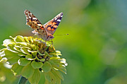 Laura Mountainspring - Painted Lady Butterfly