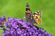 Painted Lady Butterflies Prints - Painted lady butterfly on a buddleia Print by Andy Smy
