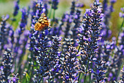 Painted Lady Butterflies Prints - Painted Lady Butterfly on Lavender Flowers Print by Paul Topp