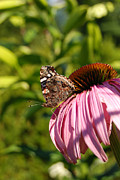 Paintng Framed Prints - Painted Lady Butterfly on Pink Cone Flower Framed Print by Eva Kaufman