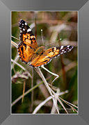 Painted Lady Butterflies Prints - Painted Lady Butterfly with Border Print by Carol Groenen