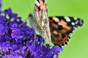 Painted Lady Butterflies Prints - Painted lady feeding on a buddleia  Print by Andy Smy