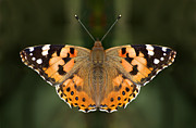 Butterfly Photographs Posters - Painted Lady Poster by Meir Ezrachi