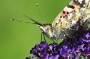 Insects Art - Painted Lady on Buddleia Close Up by Andy Smy