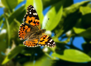Vanessa Cardui Prints - Painted Lady Print by Robert Bales