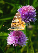 Purple Flowers Digital Art - Painted lady -Vanessa Cardu by Bill Tiepelman
