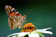 Zinnia Prints - Painted Lady  Vanessa Cardui Print by Jim Mayes