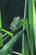 Tree Frog Prints - Painted Monkey Frog In Reeds Print by John Pitcher