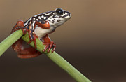 Featured Framed Prints - Painted Reed Frog Botswana Framed Print by Piotr Naskrecki