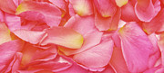 Blooming Digital Art Prints - Painted Rose Petals Print by Phill Petrovic