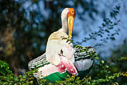 Preening Prints - Painted Stork Print by Nila Newsom