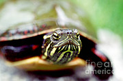 Animal Faces Framed Prints - Painted Turtle Framed Print by Ted Kinsman