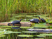 Painted Mixed Media - Painted Turtles on the Little Ausable River by Bruce Ritchie