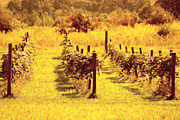 Country Scenes Digital Art Acrylic Prints - Painted Vineyard Acrylic Print by Emily Stauring