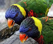 Lorikeet Photos - Pair o Keets by Brian M Lumley