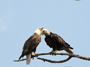 Symbolize Posters - Pair of American Bald Eagles Poster by Mitch Spillane