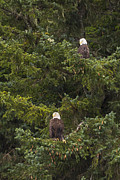 4th July Photo Framed Prints - Pair of Bald Eagles Framed Print by Darcy Michaelchuk