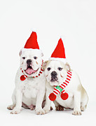 Animals At Christmas Posters - Pair Of Bulldogs Wearing Santa Hats Poster by Max Oppenheim