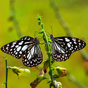 Kolkata Photos - Pair of Butterfly by Mukesh Srivastava