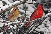 Male Cardinals In Snow Posters - Pair of Cardinals in Winter Poster by Peg Runyan