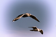 Coastal Birds Posters - Pair of Gulls Poster by Karol  Livote