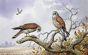 Tree Tops Posters - Pair of Kestrels Poster by Carl Donner