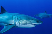 Sharks Photo Posters - Pair Of Male Great White Sharks Poster by Todd Winner