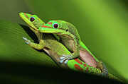 Gecko Posters - Pair Of Mating Green Geckos Poster by Pete Orelup