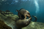 California Sea Lions Photos - Pair Of Playful Sea Lions, La Paz by Todd Winner