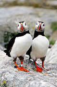 Full-length Portrait Posters - Pair Of Puffins Poster by Betty Wiley